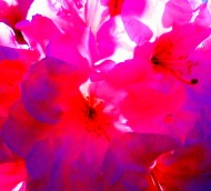 pink rhododendron low midtone