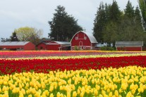 red barn and tulips 8 this one