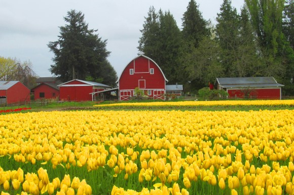 yellow tulips and red barn saturated this one