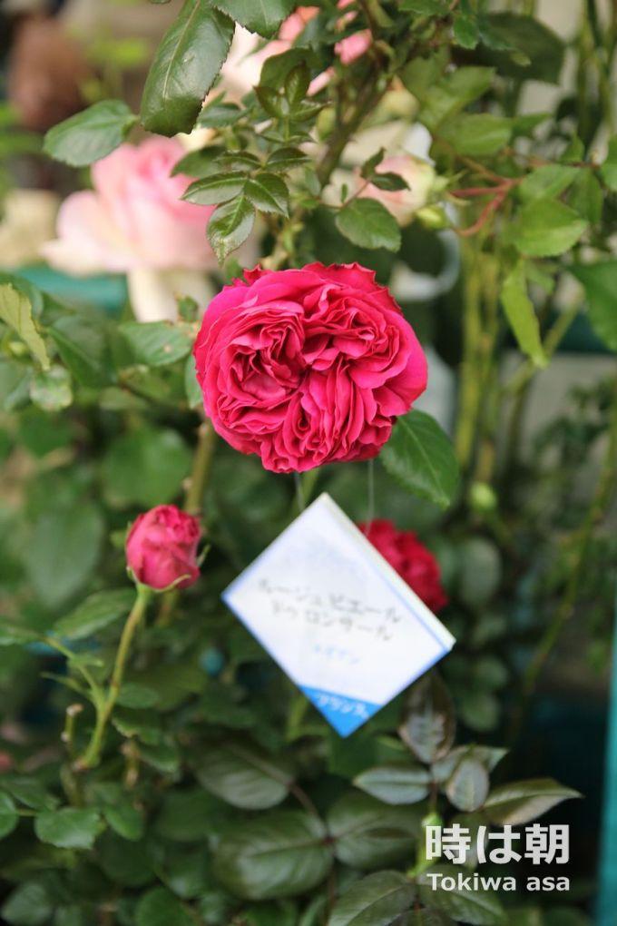 ルージュピエールドロンサール 2017年国際バラとガーデニングショー
