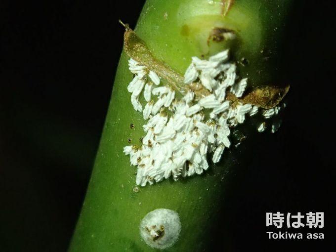 カイガラムシの幼虫 2019年10月20日