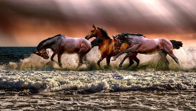 Photo de trois chevaux qui galopent en jouant dans les vagues sur un bord de mer.