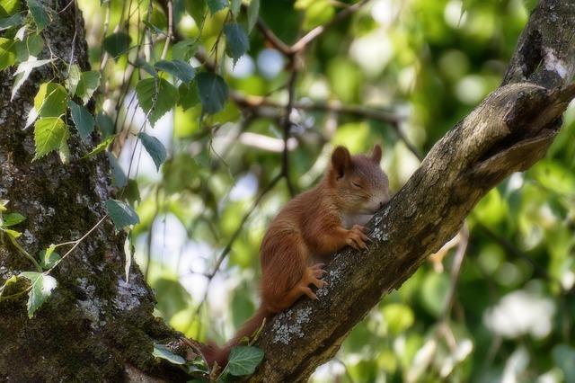 Photo d'un écureuil endormi sur une branche.