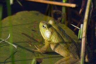 Bullfrog 1