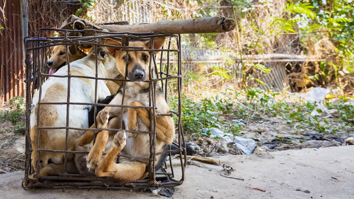 Cambodia, Kampong Cham | 2019 03 09 | Dogs in cages in Kampong Cham, Cambodia.
