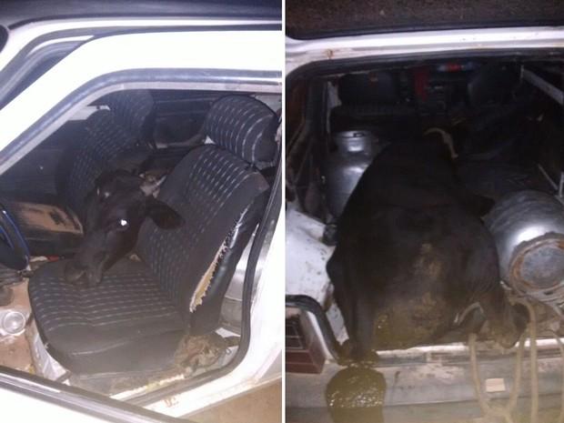 boi No RN, homem furta boi e coloca o animal dentro de um Fiat Uno