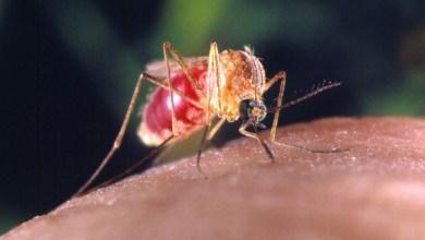 Muriçoca comum pode transmitir o vírus da Zika, afirma Fiocruz 3