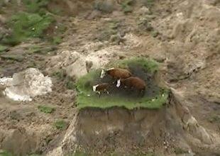 Vacas 'sortudas' sobrevivem a terremoto e ficam isoladas 6
