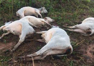 Raio mata sete cabeças de gado em SP e deixa prejuízo de R$ 15 mil 5