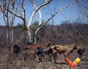 seca-310x245-300x237 Seca castiga rebanho no Sertão e foto viraliza nas redes sociais
