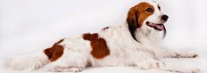 doggo1-300x107 Organização reconhece duas novas raças de cachorros