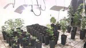 plantacao-de-maconha-300x169 Casa é encontrada com plantação de 200 pés de maconha na PB