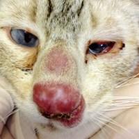 ALERTA: Doença do gato PB notifica 404 casos de esporotricose em humanos