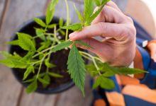 Cannabis medicinal é tema da Diretoria Colegiada da Anvisa nesta terça 15/10 9