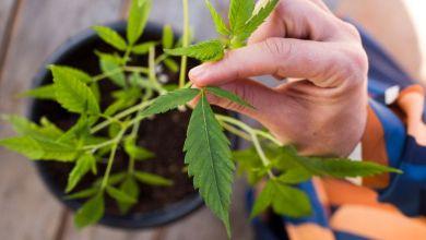 Cannabis medicinal é tema da Diretoria Colegiada da Anvisa nesta terça 15/10 19