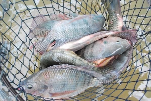 PEIXES-598x400 Famup pede que Prefeituras paraibanas não distribuam peixes na Semana Santa