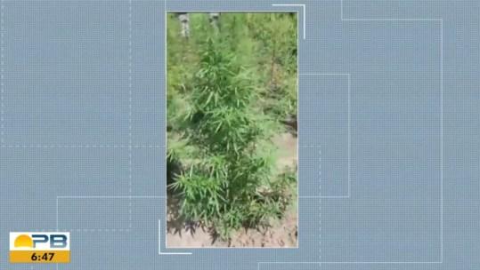 capture-20201109-111832 Plantação com cerca de 150 pés de maconha é encontrada na PB