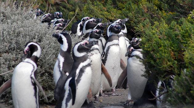 Pingüinos en Cabo Virgenes - Foto: OPI Santa Cruz/Francisco Muñoz