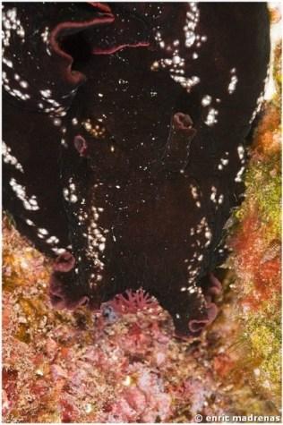 Aplysia fasciata by Enric Madrenas