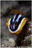Chromodoris quadricolor @ Red Sea by Enric Madrenas