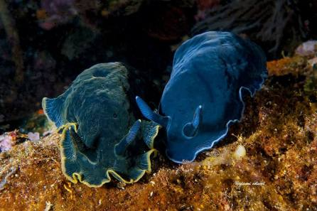 Dendrodoris limbata (blue and black) @ Ionian Sea, Salento, Italy by Gianni Colucci