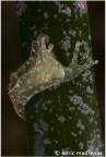Elysia translucens by Enric Madrenas