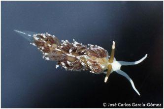 Favorinus branchialis by José Carlos García Gómez