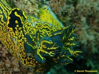 Double gilled Felimare picta @ Playa Chica, Lanzarote, Spain by David Thompson