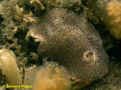 Onchidoris pusilla by Bernard Picton