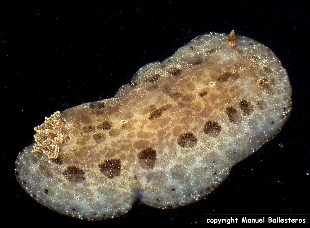 Tayuva lilacina (=Discodoris maculosa)