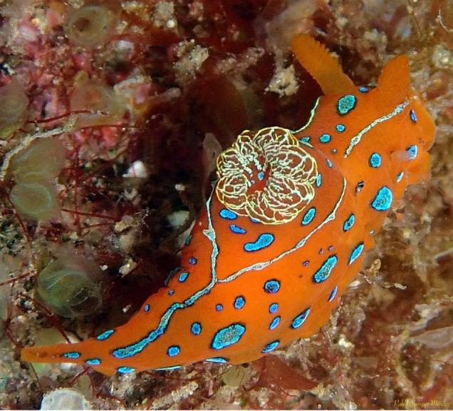 Polycera elegans @ Taliarte, Gran Canaria by Pablo Samper Méndez