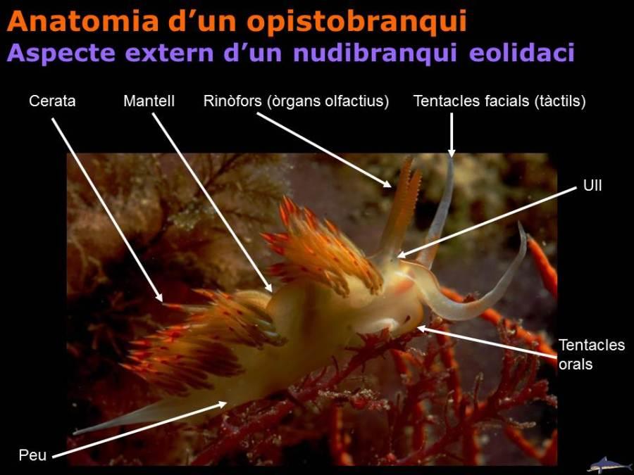 Anatomia d'un opistobranqui: Aspecte extern d'un nudibranqui eolidaci