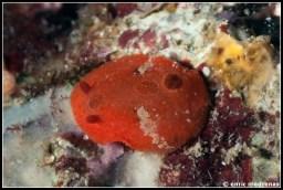 aldisa-banyulensis-09