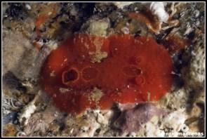 aldisa-banyulensis-15