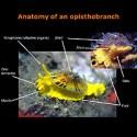 Anatomia d'un Opistobranqui