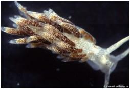Trinchesia albopunctata by Manuel Ballesteros
