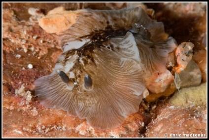 dendrodoris-grandiflora-06