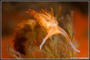 Dondice banyulensis by Enric Madrenas