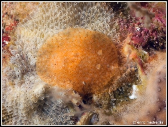 Onchidoris neapolitana @ Costa Brava (Spain) by Enric Madrenas