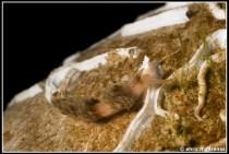 facelina-annulicornis-03