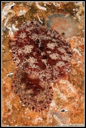 geitodoris-planata-02