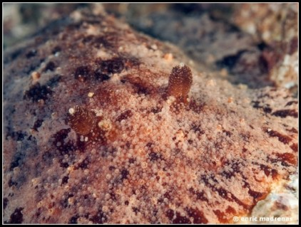 geitodoris-planata-14