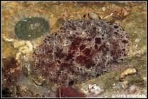 geitodoris-planata-46-mostra-confirmada