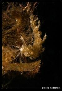 Limenandra nodosa