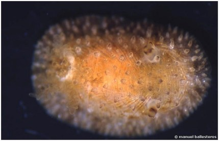 Onchidoris sparsa
