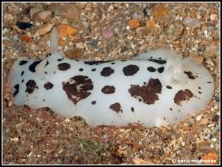 peltodoris-atromaculata-38