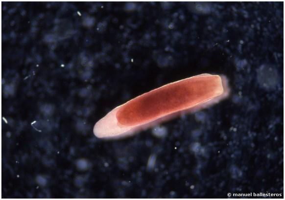 Runcina ferruginea