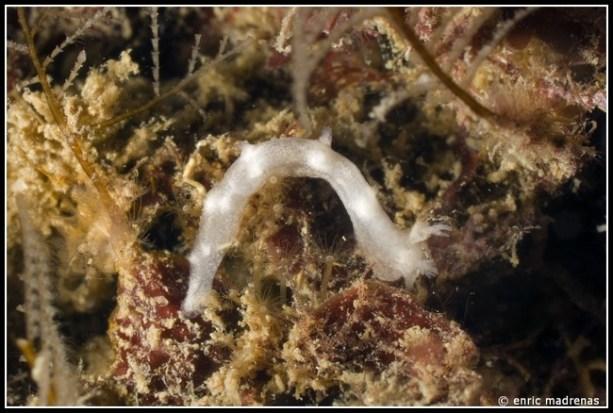 tritonia-nilsodhneri-47