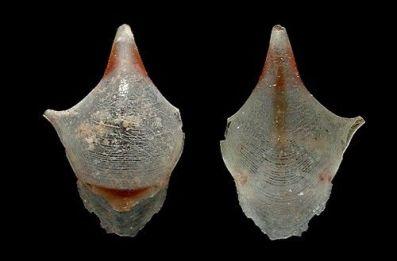 Cavolinia inflexa 6 mm (Pacific population) by Cory Pittman seaslugsofhawaii.com