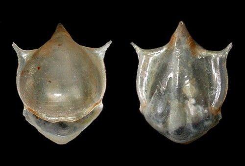 Cavolinia uncinata 8 mm (Pacific population) by Cory Pittman seaslugsofhawaii.com - source CAS collection